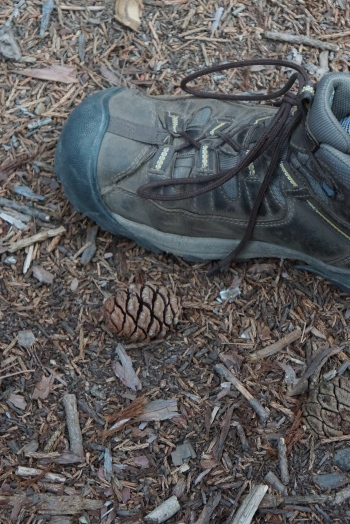 A Sequoia pinecone