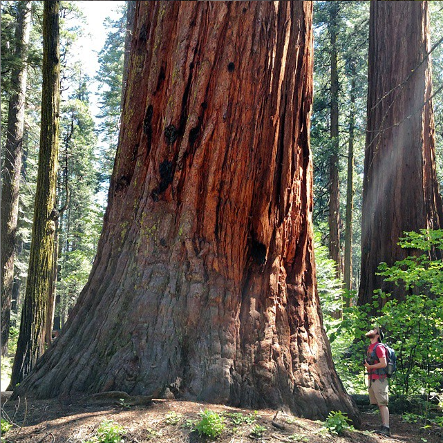 Giant Sequoia, Calaveras Big Trees State Partk
