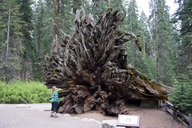 Roots of a giant sequioa