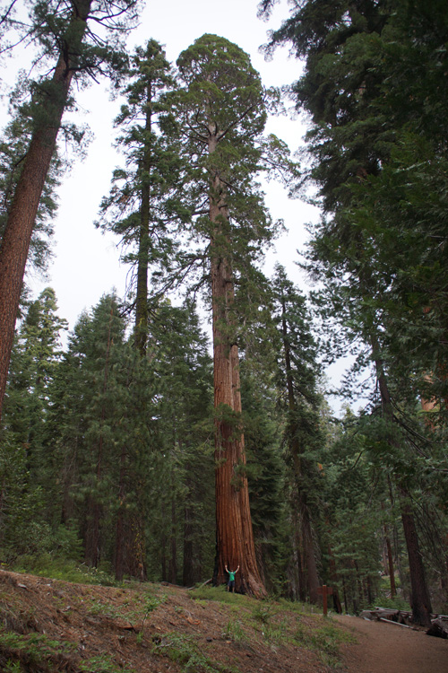 Giant Sequoia, Mariposa Grove
