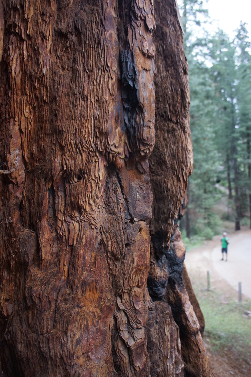 The magical bark of a Sequoia