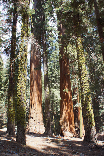 Giant Sequoia's in Sequoia NP