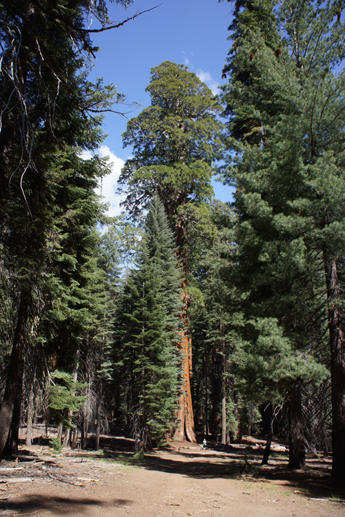 The McKinley Tree, Sequoia National Park