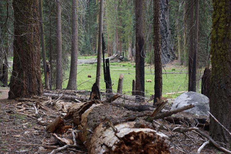 Black bears in Sequoia National Park