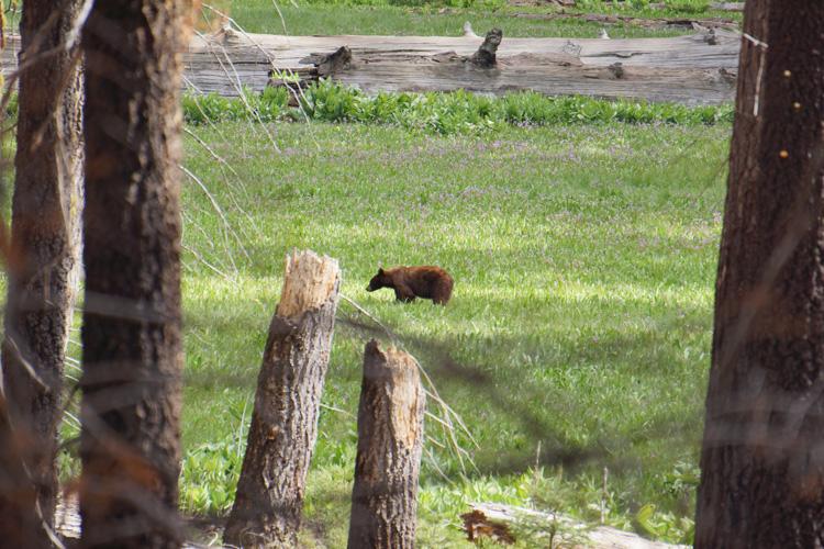 Black bear in Sequoia National Park