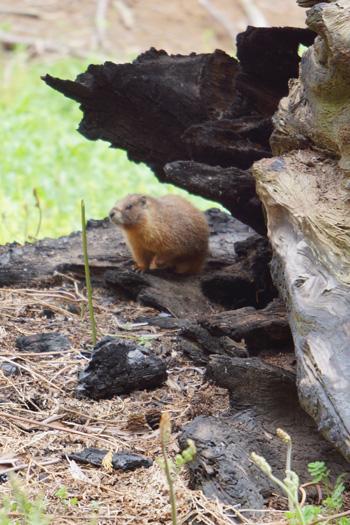 Marmot, Sequoia NP
