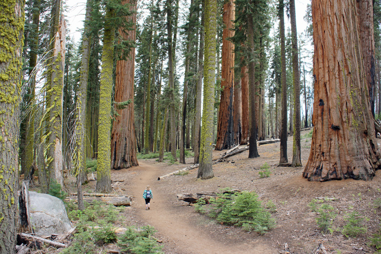 The Giant Forest in Sequoia NP