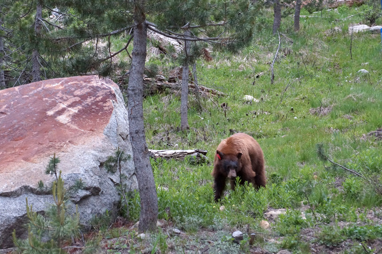 Bear, Sequoia NP