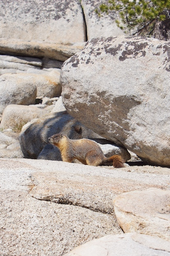 A marmot