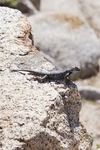 A Western Fence lizard (I think)